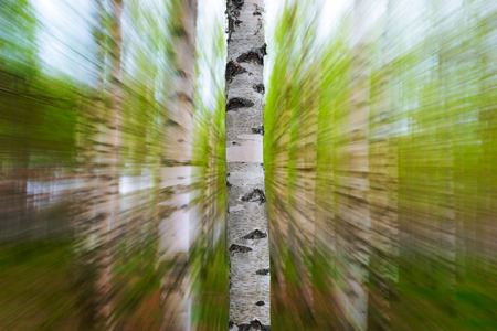 lush foliage: Trunk of birch tree in Swedish forest, with blurred lush foliage background in early spring