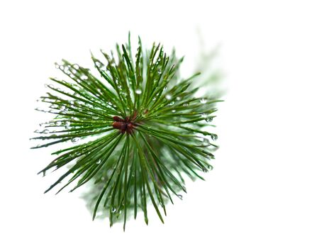 pine needles close up: close up of needles on pine tree with drops of water, isolated on white