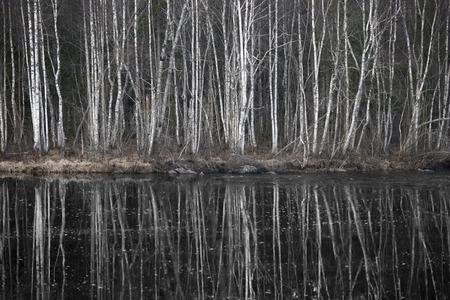 Bare birch trees reflected in dark river