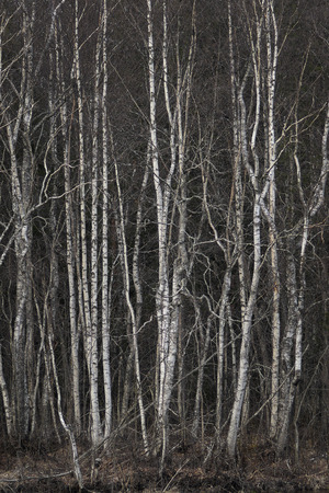 uncultivated: grove with thick vegetation of bare birch trees Stock Photo