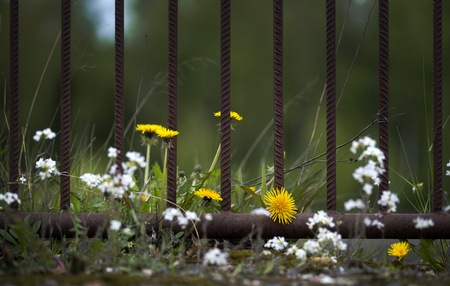 fence: Close up of dandelions and other flowers by rusty metal fence