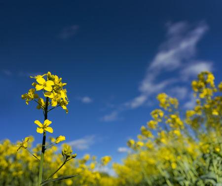 oilseed rape: rapeseed flower on bright blue sky on summer day