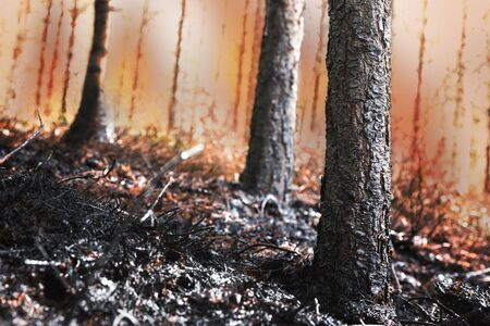scorched: Forest on fire, with scorched trees and black ash in foreground