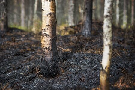 scorched: Trees and ground scorched after fire in forest