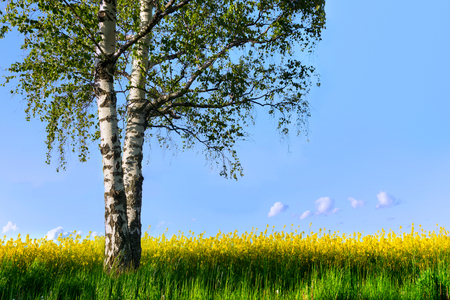 oilseed rape: Birch tree with fresh green leaves in field with yellow rapeseed flowers