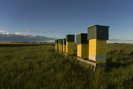 beehive: Row of yellow wooden beehives in green field with blue sky in evening sunshine Stock Photo