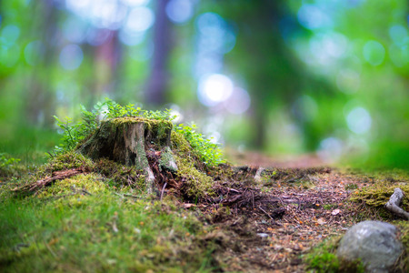trees forest: beautiful scandinavian forest with tree stump fungus blueberry plants and magic blurred light in background Stock Photo