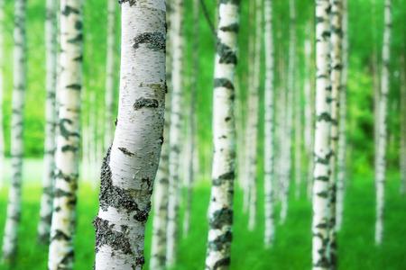 밝은 녹색 색상 숲에서 자작 나무의 트렁크의 닫습니다 스톡 콘텐츠