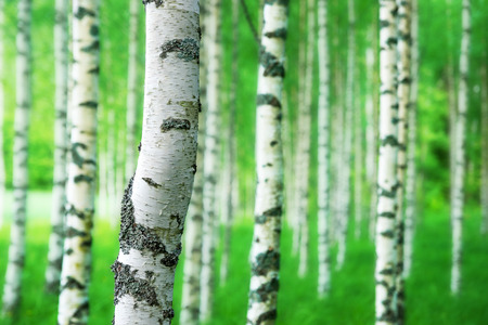Close up of trunk of birch tree in grove with bright green colors Reklamní fotografie