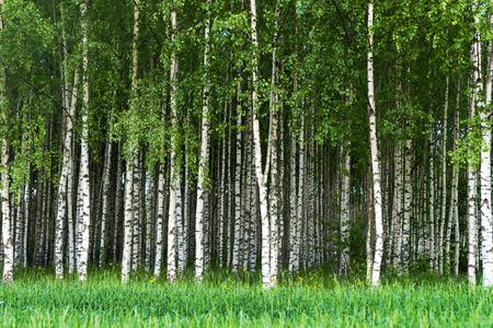 arbre: Beau paysage suédois d'été avec bosquet de bouleaux aux troncs blancs et noirs et profondes feuilles vertes
