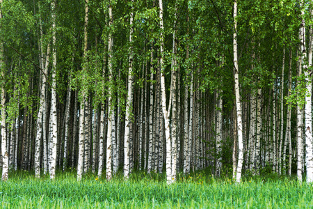 Beautiful Swedish summer landscape with grove of birch trees with white and black trunks and deep green leaves