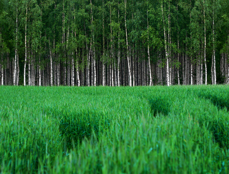 wheat grass: Green wheat field with grove of birch trees in background Stock Photo