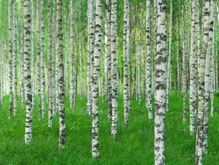 緑の草にまっすぐバーチの木と美しいスウェーデンの夏風景