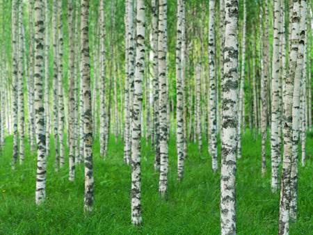 Beautiful Swedish summer landscape with straight birch trees in green grass Stock Photo