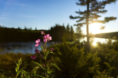 fireweed: Scandinavian river at sunset, with fireweed flower (rosebay willowherb) in foreground Stock Photo