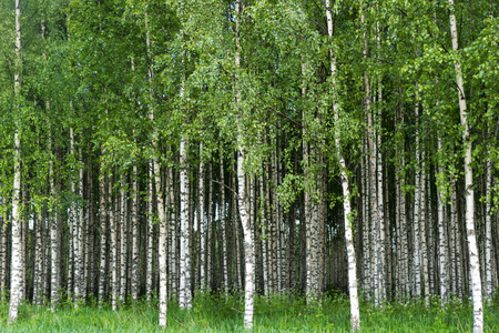 trunks: Beautiful Swedish summer landscape with grove of birch trees with white and black trunks and deep green leaves