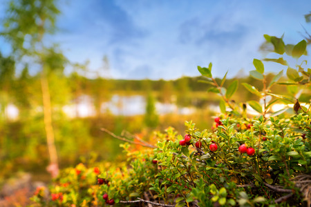 mountain cranberry: Ripe lingonberries in scandinavian forest with  tarn and blue sky in background Stock Photo