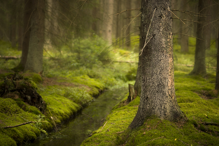 moss: Magic Scandinavian forest with green moss, small ditch and old conifer in foreground