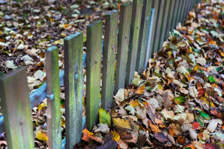 wooden fence: old weathered wooden fence and many autumn leaves in bright colors