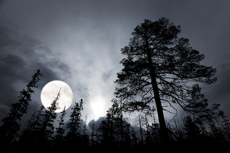 pine trees: spooky forest with silhouettes of trees, dark sky and big full moon Stock Photo