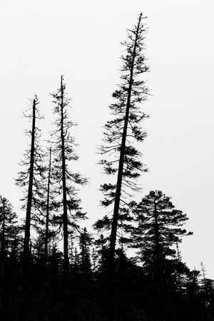 シルエットの古いスカンジナビアの荒野で灰色の空に針葉樹 写真素材