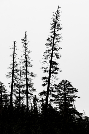 silhouettes of old conifer trees on gray sky in scandinavian wilderness