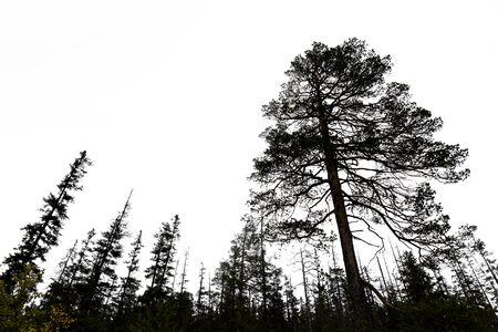 tree  pine: siluetas de los �rboles viejos de con�feras en el cielo gris en desierto escandinavo Foto de archivo