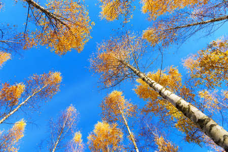 tree canopy: Tree canopy of birch trees with yellow leaves in autumn