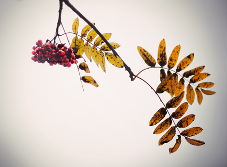 berries: Red rowan berries and yellow brown and orange leaves in autumn