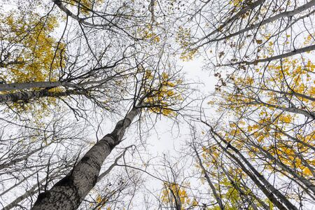 yellow trees: Low angle view of aspen trees with yellow leaves in autumn