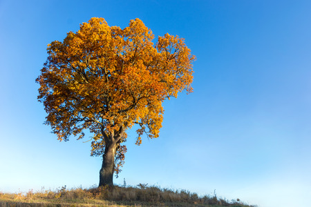 beautiful tree: Oak tree with brown leaves in autumn, on bright blue sky Stock Photo