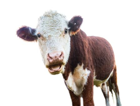 cow tongue: Brown and white cow with surprised expression isolated on white