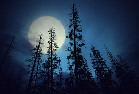 coniferous tree: Low angle view of spooky forest with dark blue sky and big full moon Stock Photo