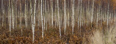 Panoramic view of trunks of young birch trees in autumn