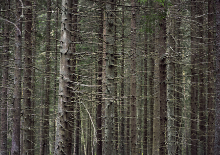 conifer: Close up of trunks of conifer trees in thick forest