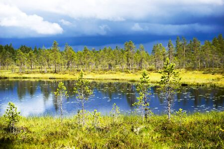conifer: Conifer trees by lake in Scandinavian wetland on sunny day
