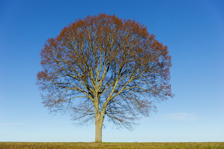 lime tree: Lime tree with brown leaves in autumn, on bright blue sky Stock Photo