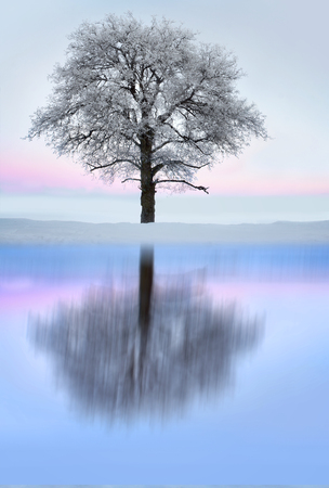 rime frost: Bare tree with rime frost and snow in winter landscape with pink sky, reflected in shiny ice of lake