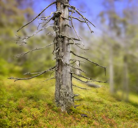 unaffected: Dry trunk of old tree in scandinavian wilderness