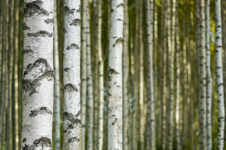 tree  forest: Trunks in birch tree forest on sunny day Stock Photo