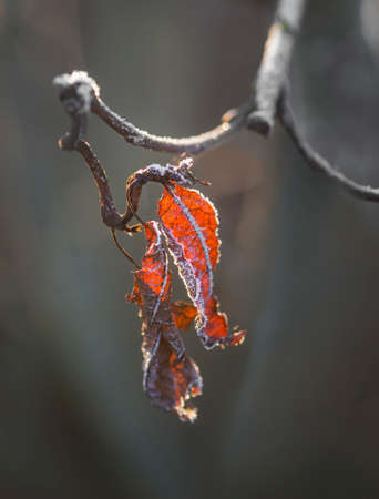 ice crystals: Red leaves with ice crystals on tree Stock Photo