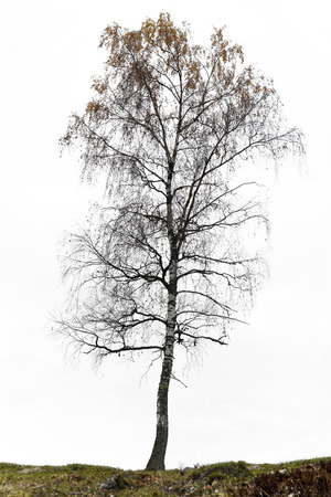 Birch tree in autumn, almost bare with few brown or orange leaves on gray sky