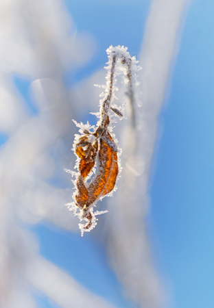 rime frost: Close up of dry brown leaf with rime frost on clear blue in winter