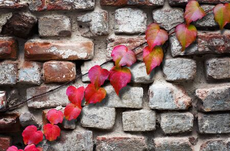 autumn colour: ivy leaves in autumn on ancient brick wall