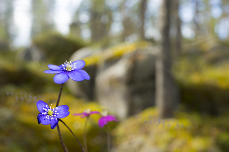 liverwort: Sunny scandinavian spring landscape with anemone hepatica in foreground