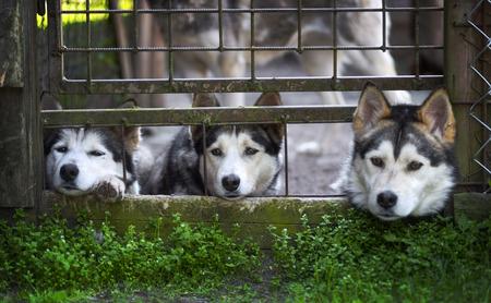 siberian husky: Three Siberian Husky dogs behind bars