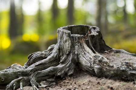 roots: Old weathered tree stump with root in green summer landscape Stock Photo