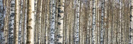 tronco: cerca de los troncos de los árboles de abedul en el comienzo de la primavera