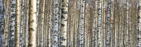close up of trunks of birch trees in early spring Stock Photo