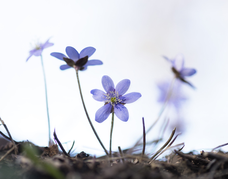 nobilis: first anemone hepatica of the season on sunny day